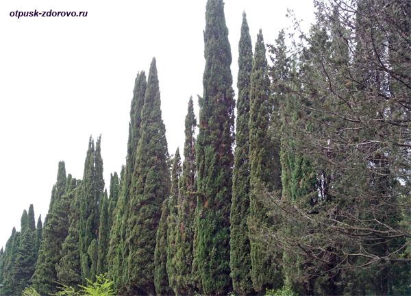 Пихтовые и сосновые полосы леса в Абхазии