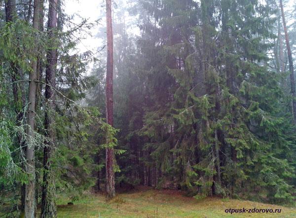 Заповедный лес, Беловежская Пуща