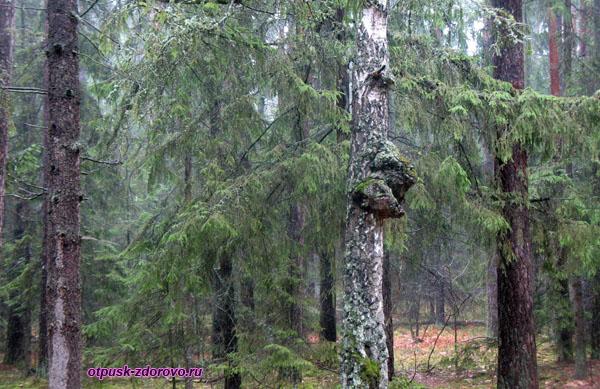 Береза с головой зубра. Экскурсия по Беловежской Пуще, Беларусь