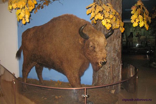 Зубр Пугинал в музее Природы в Беловежской Пуще