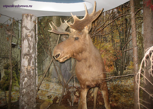 Лось. Музей Природы в Беловежской Пуще