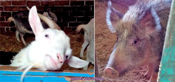 Коза и свинья на ферме, Дудутки, Беларусь