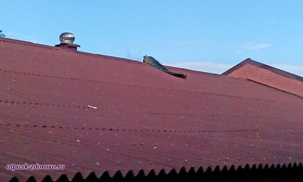 Павлин на крыше, Дудутки, Беларусь