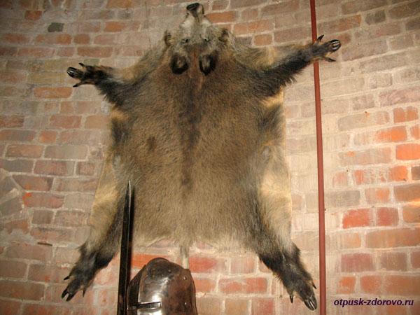 Музей Каменецкая башня, шкура дикого кабана