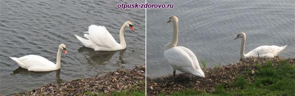 Лебеди на прудах Несвижского замка, Беларусь