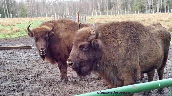 Пара зубров. Животные Беловежской Пущи. Вольеры