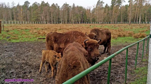 Зубры и зубренок. Животные Беловежской Пущи. Вольеры