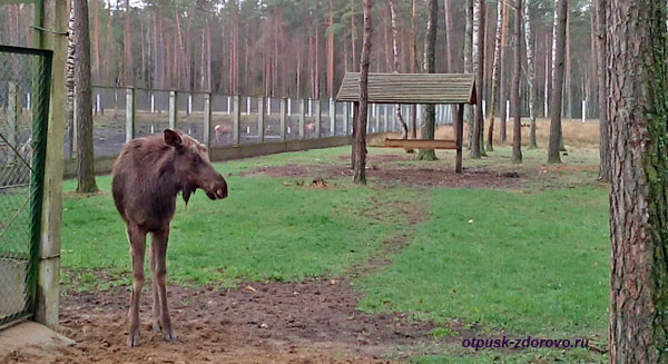 Лось. Животные Беловежской Пущи. Вольеры