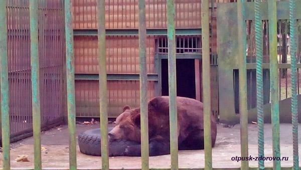 Бурый медведь в вольере. Животные Беловежской Пущи