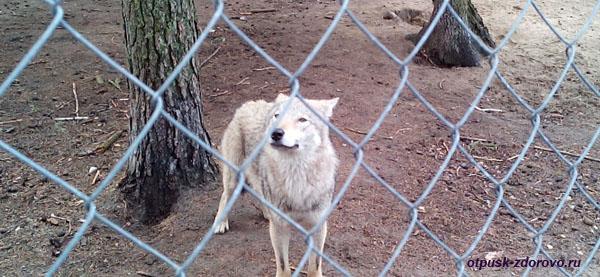 Волк. Животные Беловежской Пущи. Вольеры