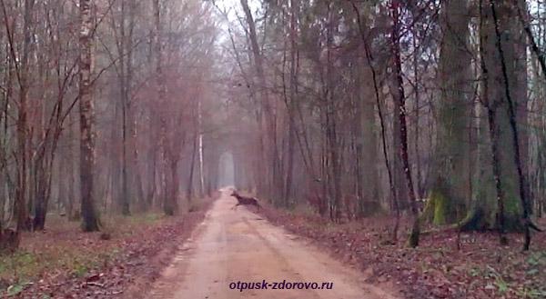 Стадо оленей перебегает дорогу в Беловежской Пуще