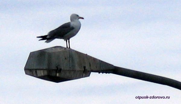 гигантская чайка, альбатрос, птица на фонаре