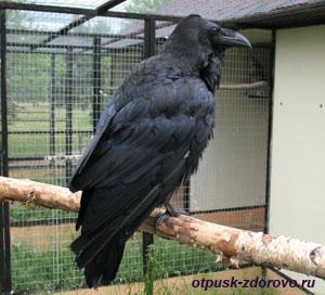 Парк Птиц в Калужской области, ворон