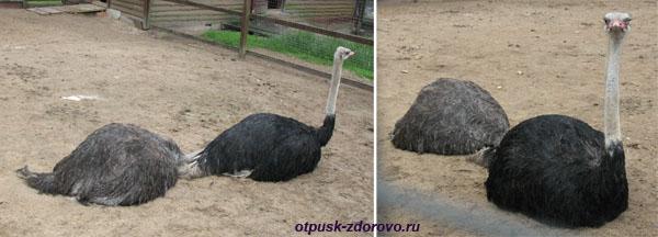 Парк Птиц в Калужской области, страусы