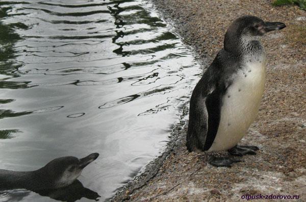 Парк Птиц в Калужской области, пингвины