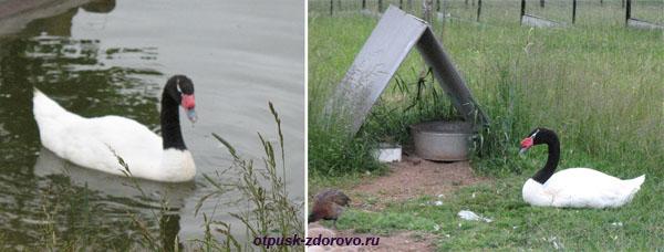 Парк Птиц в Калужской области, черно-белые лебеди