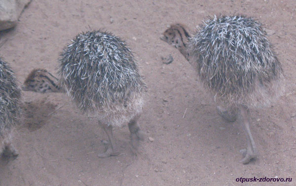 Парк Птиц в Калужской области, страусята