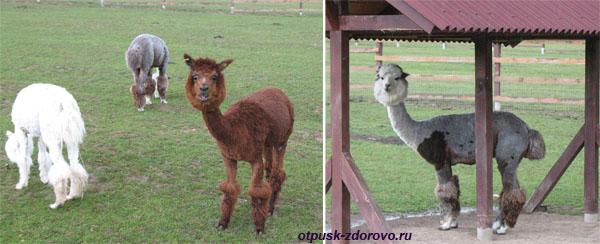 Парк Птиц в Калужской области, ламы