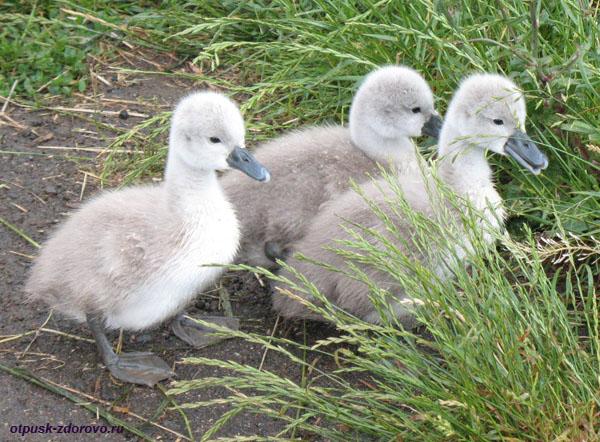 Парк Птиц в Калужской области, лебедята