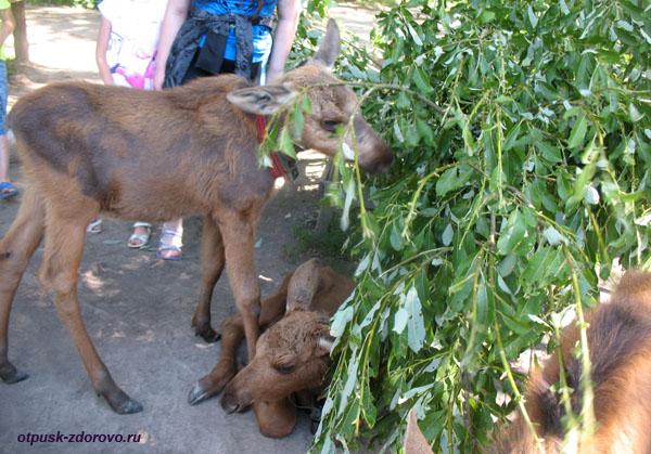 Лосята в детском саду, Лосиная ферма, Кострома