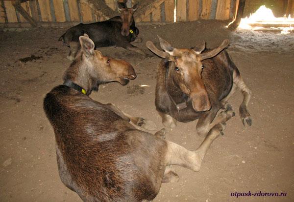 Молодые лоси с рогами, Лосиная ферма, Кострома