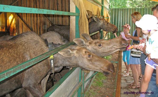 Лоси на лосиной ферме, Кострома