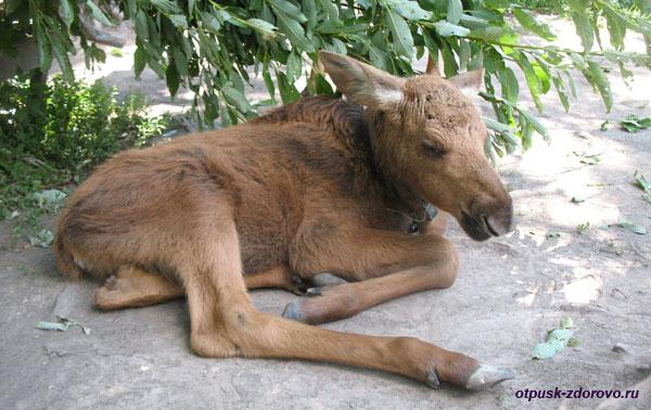 Лосенок отдыхает на лосиной ферме, Кострома