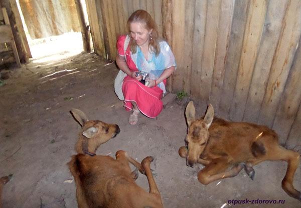 Лосята на лосиной ферме, Кострома