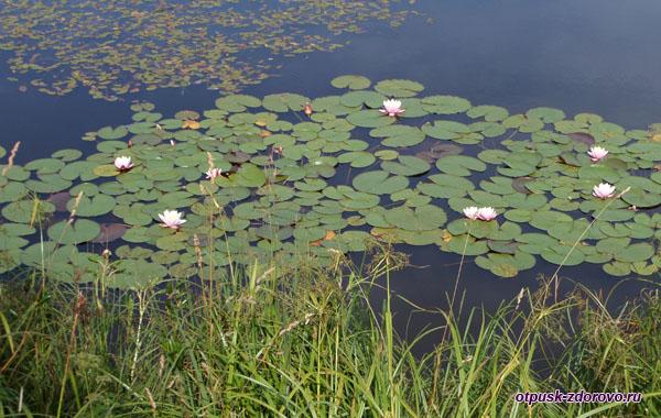 Лотосы цветут на пруду