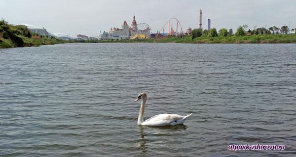 Лебедь на пруду Орнитологического Парка в Адлере