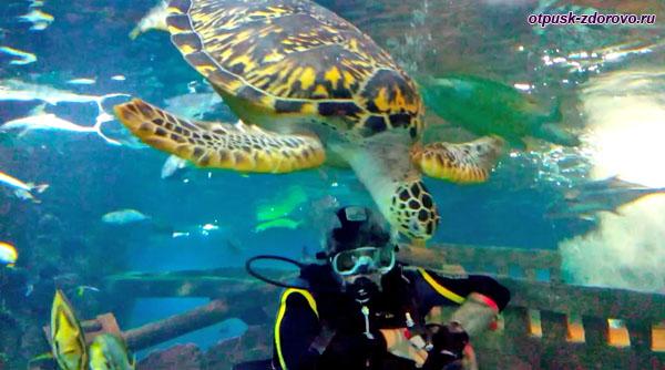 Морская гигантская черепаха и аквалангист