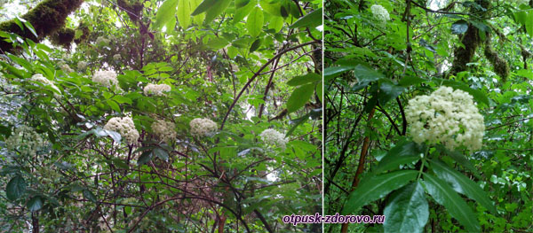 Деревья цветут, Тисо-Самшитовая роща, Хоста