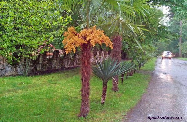 Цветущие пальмы, Агурские водопады, Сочи