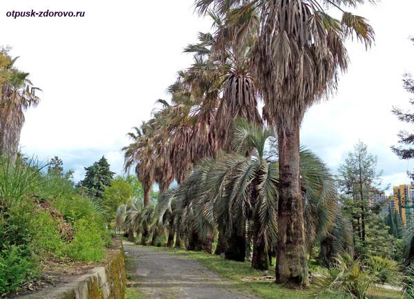 Пальмовая аллея, Парк Дендрарий в Сочи