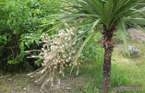 Цветущие пальмы