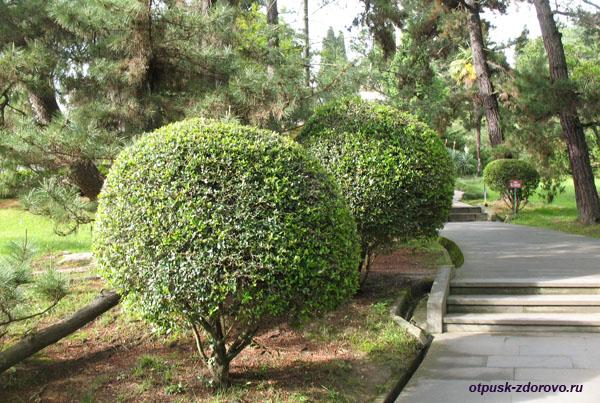Круглые деревья, Парк Дендрарий в Сочи