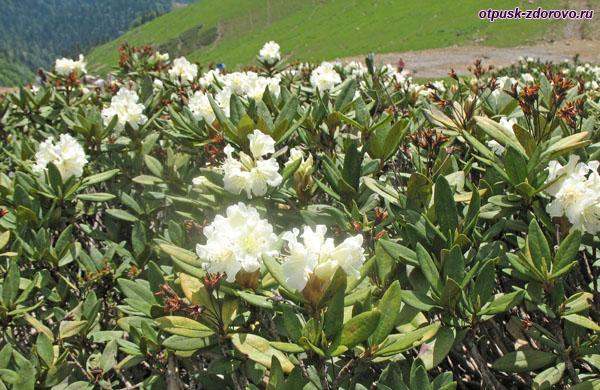 Белые цветы на вершине Роза Пик-2320