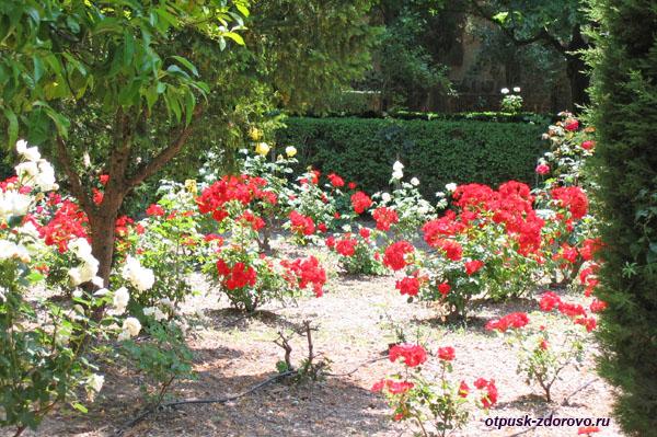 Розы возле Картезанского монастыря, Вальдемосса, Майорка