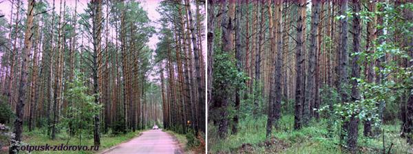 Святое озеро в Дедово, сосновый лес
