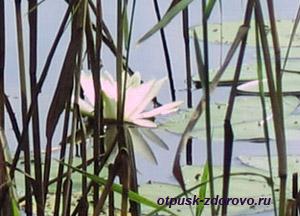 Святое озеро в Дедово, цветок лотоса