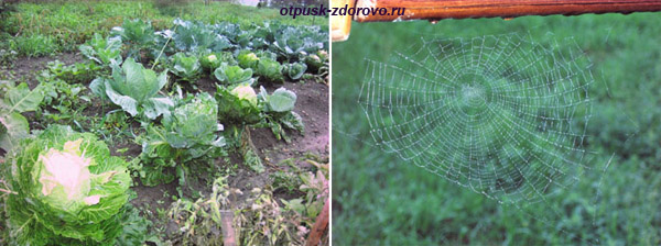 Грядки с капустой и паутина, паутинка