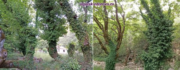 Стволы деревьев, обвитые плющом
