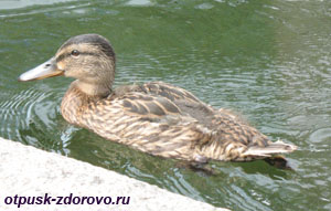 Екатерининский парк в Царском Селе (Пушкин), утки на озере