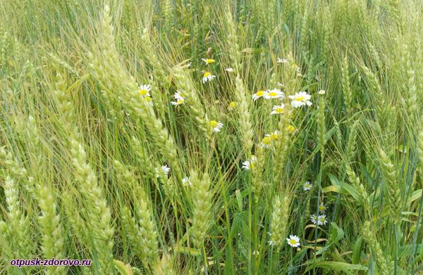 Колосья пшеницы и ромашки, Калязин, Тверская область