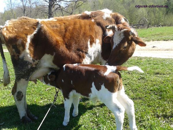 Ольгин Хутор в Вороново, Тверская область, корова с теленком