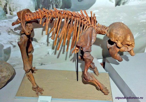 Слепок скелета мамонтенка, Рыбинский музей-заповедник