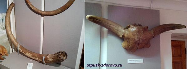 Бивни мамонта и череп первобытного бизона, Рыбинский музей-заповедник