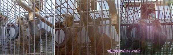 Кормление медведей в Музее баклуши в Семибратово