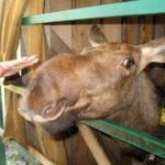 Пробуем лосиное молоко на Сумароковской лосеферме в Костроме